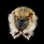 Andrena-vicina
